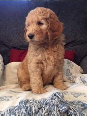 Goldendoodle Family